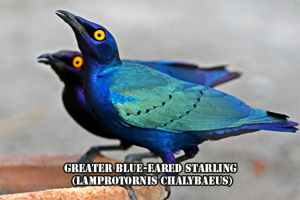 Greater Blue-eared Starling, Lamprotornis chalybaeus