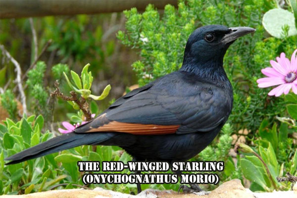 The red-winged starling (Onychognathus morio)