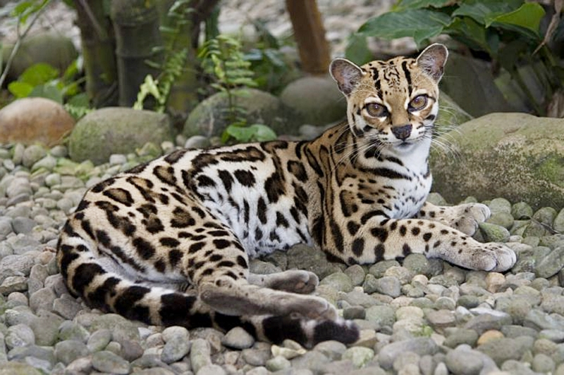 Jenis Kucing Hutan, Kucing Margay, Leopardus wiedii