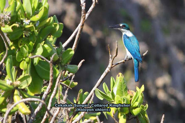 Cekakak Sungai / Collared Kingfisher (Halcyon chloris)