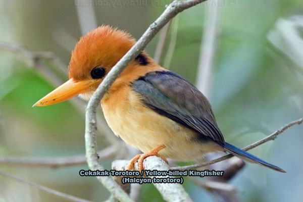 Cekakak Torotoro / Yellow-billed Kingfisher (Halcyon torotoro)