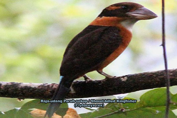 Raja-udang Paruh-sekop / Shovel-billed Kingfisher (Clytoceyx rex)